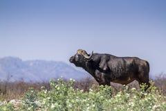 Búfalo africano no parque nacional de Kruger, África do Sul imagens de stock