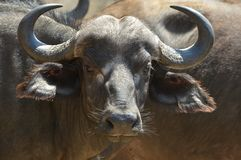 Búfalo africano ou búfalo do cabo (caffer de Syncerus) Fotografia de Stock