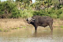 Búfalo africano, parque nacional de Selous, Tanzania Imagen de archivo libre de regalías