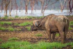 Búfalo africano perto do lago Nakuru (Kenya) Fotos de Stock