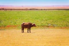 Búfalo africano que pasta solamente en la sabana del Kenyan fotos de archivo libres de regalías
