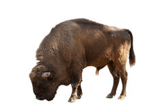 Búfalo aislado Imágenes de archivo libres de regalías