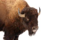 Búfalo americano Fotos de Stock Royalty Free