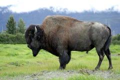 Búfalo americano Fotos de Stock