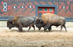 Búfalo americano Fotografia de Stock