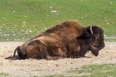 Búfalo americano conocido como bisonte, bisonte del Bos en el parque zoológico foto de archivo