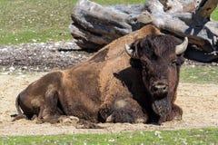 Búfalo americano conocido como bisonte, bisonte del Bos en el parque zoológico imagen de archivo