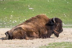 Búfalo americano conocido como bisonte, bisonte del Bos en el parque zoológico fotos de archivo