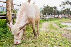 Búfalo asiático del albino imagenes de archivo