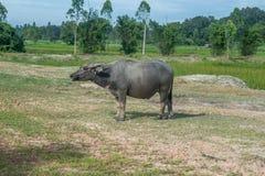 Búfalo asiático em Tailândia rural Búfalo de água asiático no lago em Tailândia Fotografia de Stock Royalty Free