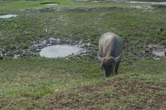 Búfalo asiático em Tailândia rural Búfalo de água asiático no lago em Tailândia Foto de Stock