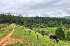 Búfalo asiático que come la hierba en el campo foto de archivo