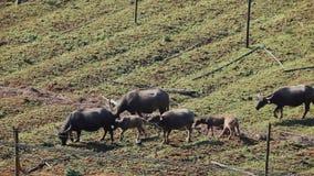 Búfalo asiático que pasta metrajes