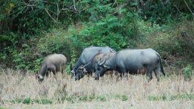 Búfalo asiático que pasta almacen de metraje de vídeo