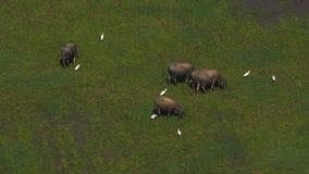 Búfalo asiático que pasta almacen de video