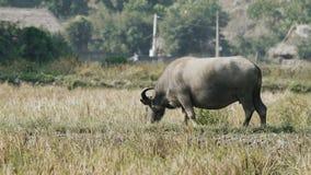 Búfalo asiático que pasta vídeos de arquivo