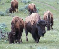 Búfalo Bison Herd em Lamar Valley no parque nacional de Yellowstone em Wyoming EUA fotografia de stock