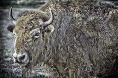 Búfalo blanco raro Imágenes de archivo libres de regalías
