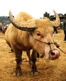 Búfalo branco Imagem de Stock Royalty Free