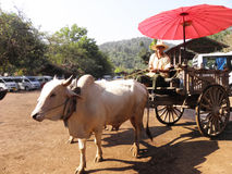 Búfalo branco tirado a um carro Imagens de Stock
