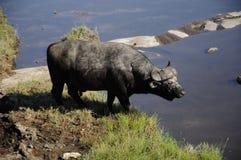 Búfalo Bull imagenes de archivo