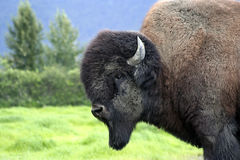 Búfalo Bull Imagens de Stock
