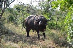 Búfalo Bull del cabo Imagenes de archivo