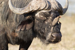 Búfalo com oxpecker Imagem de Stock Royalty Free
