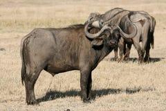 Búfalo - cratera de Ngorongoro, Tanzânia, África imagens de stock royalty free