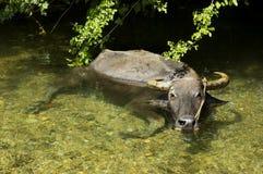 Búfalo-da-índia Imagens de Stock