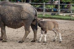 Búfalo da matriz e do bebê Imagem de Stock Royalty Free