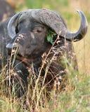 Búfalo de água África do Sul Imagens de Stock Royalty Free