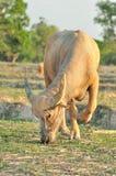 Búfalo de água. Imagens de Stock