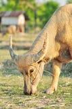Búfalo de água. Imagem de Stock