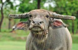 Búfalo de água Foto de Stock Royalty Free
