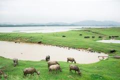 Búfalo de água Fotos de Stock Royalty Free