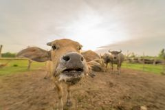 Búfalo de água Foto de Stock