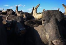 Búfalo de água Fotos de Stock
