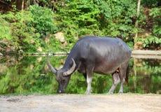 Búfalo de água (búfalo local de Tailândia) Foto de Stock Royalty Free