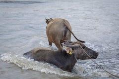 Búfalo de água - búfalo-da-índia no rio Imagem de Stock Royalty Free