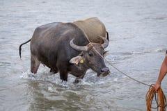 Búfalo de água - búfalo-da-índia no rio Foto de Stock