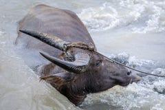 Búfalo de água - búfalo-da-índia no rio Fotografia de Stock Royalty Free