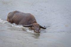 Búfalo de água - búfalo-da-índia no rio Imagem de Stock