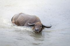 Búfalo de água - búfalo-da-índia no rio Foto de Stock Royalty Free