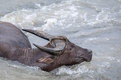 Búfalo de água - búfalo-da-índia no rio Fotografia de Stock