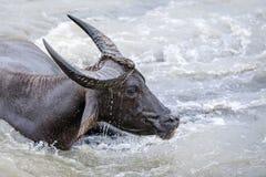 Búfalo de água - búfalo-da-índia no rio Fotos de Stock Royalty Free