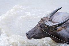 Búfalo de água - búfalo-da-índia no rio Imagens de Stock Royalty Free