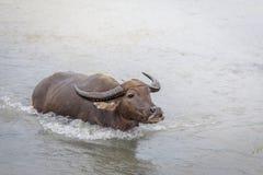 Búfalo de água - búfalo-da-índia no rio Fotos de Stock