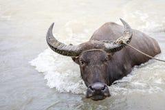 Búfalo de água - búfalo-da-índia no rio Imagens de Stock