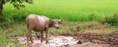 Búfalo de água na lama Imagens de Stock